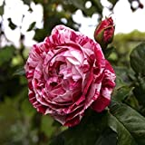 [Free Shipping] 20pcs Chinese Rose Seeds Red White Rose Flower Garden Ornamental Plant // Semillas 20pcs chino rosa blanca rosa roja flor de jardín de plantas ornamentales