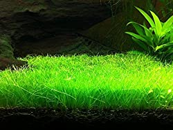 Cowhair Aquatic Plant Seeds by National Gardens
