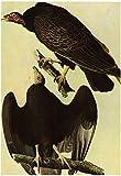 Audubon Turkey Vulture Bird Art Poster Print 13 x 19in