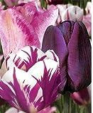 Prächtige Tulpen - Mischung