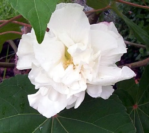50-white-double-rose-of-sharon-hibiscus-syriacus-flower-tree-bush-shrub-seeds-mix-comb-s-h