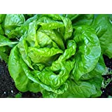 Buttercrunch Lettuce - Fall Crop and Cool Season Planting