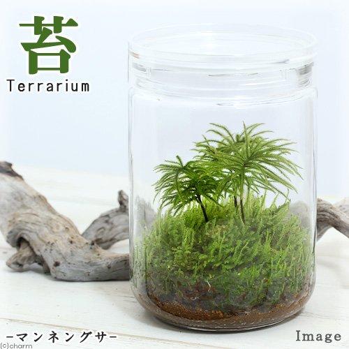 (観葉)苔Terrarium マンネングサ ガラスボトルL 説明書付