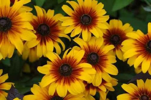 "Fall Color with Rudbeckia Flowers, Common Name, Cone-flowers - 18""W x 12""H - Peel and Stick Wall Decal by Wallmonkeys"