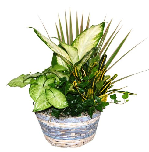 Blue Ribbon Gift Basket with Live Tropical Foliage Plants.