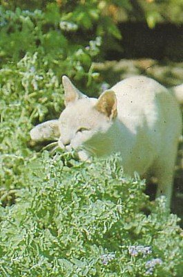Organic Catnip Herb Seeds -Cats Love It!- Nepeta