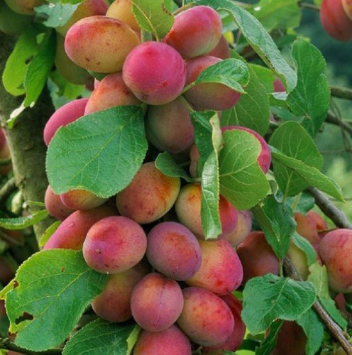 1x-4-5foot-Tall-Victoria-Plum-Fruit-Tree-3-4-Year-Old-Specimen-In-5Liter-Pot