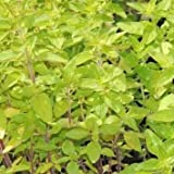 Oregano Gold herb plant in a 9cm pot. Use in all Italian cooking