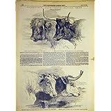 Impresión Antigua de la Vaca De Cuernos Cortos Escocesa 1855 de Devon del Ganado de Smithfield Hereford