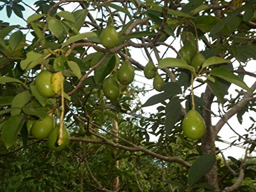 avocado-live-plant-live-fruit-tree-4-5-ft-live-plant-non-gmo-healthy-strong-root-high-quality-live-p
