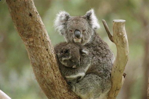Baby Koala Images front-1045304