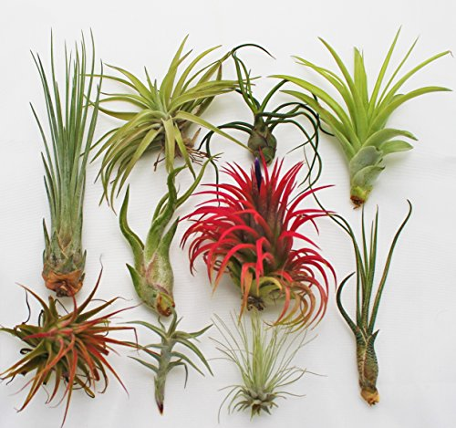 10 Pack of Assorted Air Plants (Tillandsia)