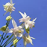 [Free Shipping] 30PCS White Columbine Flower Seeds Ornamental Flower Seed // 30pcs columbine blanco semillas de flores de semillas de flores ornamentales