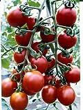 ピッコラ ルージュミニトマト  パイオニアエコサイエンスのミニトマト種です