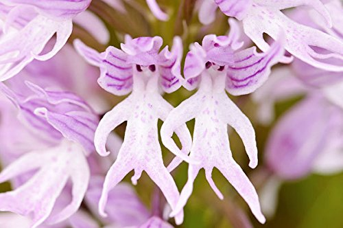 orchis-italicao-itanica-naked-man-orchid-italian-orchid-10-fresh-seeds-new