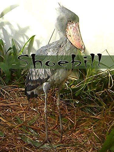 Clip: Shoebill