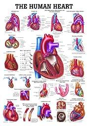 Anatomical Worldwide CH12 The Human Heart Laminated Anatomy Chart