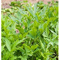 Herb Lovage D927A (Green) 200 Seeds by David's Garden Seeds