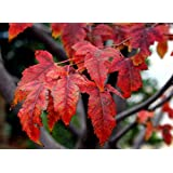 28 pcs/pkt Tatarian Maple dry seed Tree Seeds For Planting