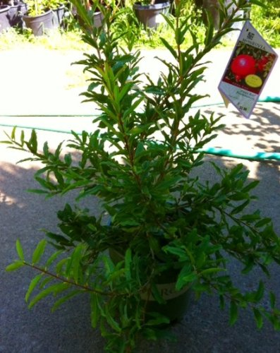 Angel Red Pomegranate Tree, Two Gallon Container
