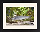 Framed Prints of European Chub - Single juvenile photographed underwater from Ardea Wildlife Pets