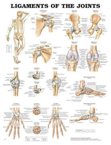 wolters-kluwer-health-ligaments-of-the-joints-chart-20-x26-by-wolters-kluwer-health