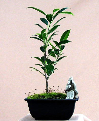 Buy Tiger Bark Weeping Fig Bonsai Tree -Ficus- Easy to Grow