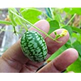 #1281* 15 Rare Seeds Melothria scabra Mouse Melon Mexican Sour Gherkin Heirloom Fruit