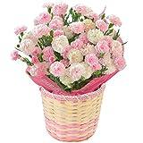 カーネーション5号鉢 ベイビーピンク フラワーギフト 花鉢 母の日ギフト