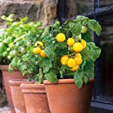 Suttons Seeds 150475 F1 Little Sun Yellow Tomato Seed