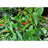 Thai Hot Pepper 4 Live Plants - Extremely Hot!