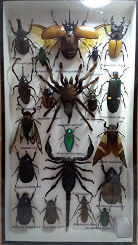 real-mixs-very-rare-insect-taxidermy-set-in-boxes-display-for-collectibles