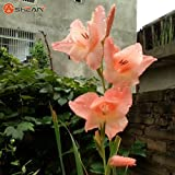 Different Gladiolus Flower Seeds Potted Orchid Seed 20 .s Available 100 Particles / Lot 15