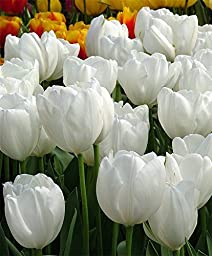 White Cloud Hakuun Darwin Tulip 8 Bulbs