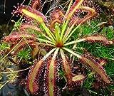 食虫植物 モウセンゴケ ドロセア Drosera Capensis 種子