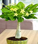 Hawaii-Palme 30-40 cm hoch, 1 Pflanze...