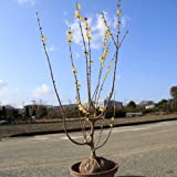 庭木:満月ロウバイ(満月ろうばい) 根巻き 大株! 樹高:約120cm 全高:約130cm