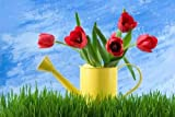Tulips in a Watering Can - 42