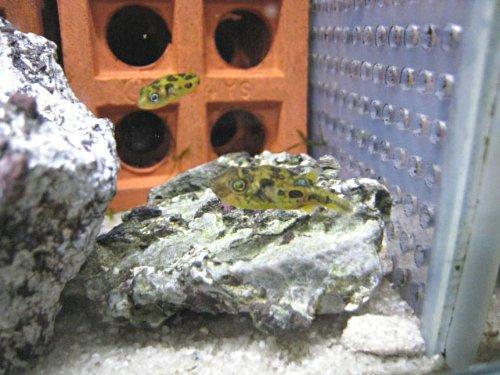 [熱帯魚 フグ] アベニーパファー 1.5-2cm