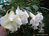 Brugmansia - Angel Trumpets - white double - 2 cuttings