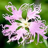500 Seeds, Fringed Pinks (Dianthus superbus) Seeds By Seed Needs