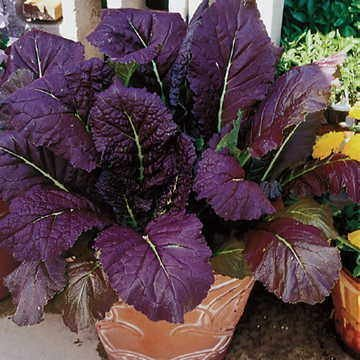 red-giant-mustard-seeds-100-seeds