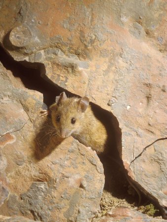 Long-Tailed Field or Wood Mouse