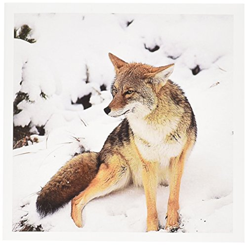 3dRose Coyote wildlife, Yellowstone NP, Wyoming - US51 LSE0003 - Lynn Seldon - Greeting Cards, 6 x 6 inches, set of 6 (gc_97500_1)
