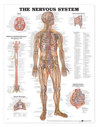 Anatomical Chart Company The Nervous System Anatomical Chart Laminated