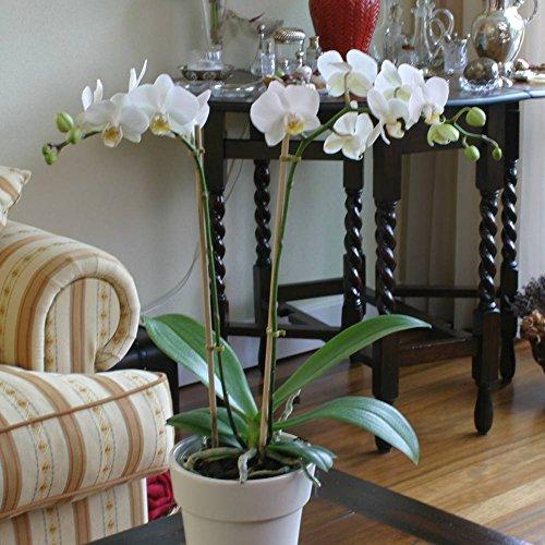 orchidee-phalaenopsis-blanche-1-plante