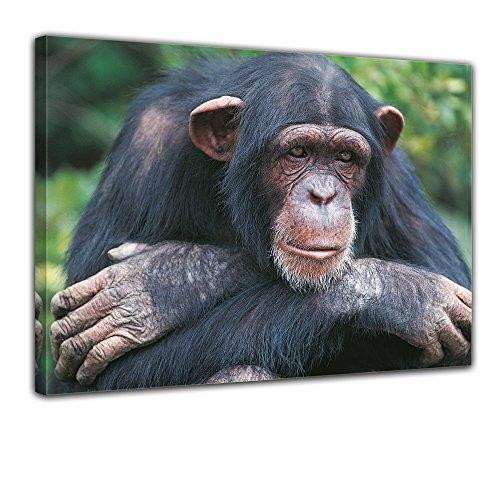 """Bilderdepot24 Leinwandbild """"Schimpanse"""" - 70x50 cm 1 teilig - fertig gerahmt, direkt vom Hersteller"""