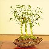 盆栽:大福竹(仏肚竹)寄せ植え(信楽焼舟型鉢)*