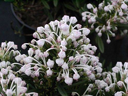 andromeda polifolia nikko lavendelheide nikko. Black Bedroom Furniture Sets. Home Design Ideas