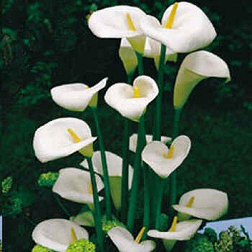 12-seeds-zantedeschia-aethiopica-calla-lily-house-plant-white-flowers